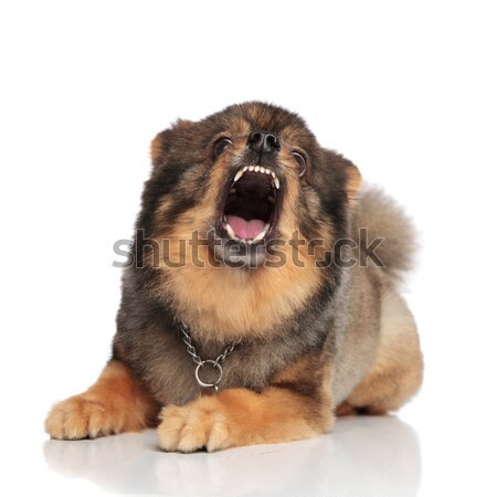 funny brown pomeranian with mouth open looking shocked Stock photo © feedough