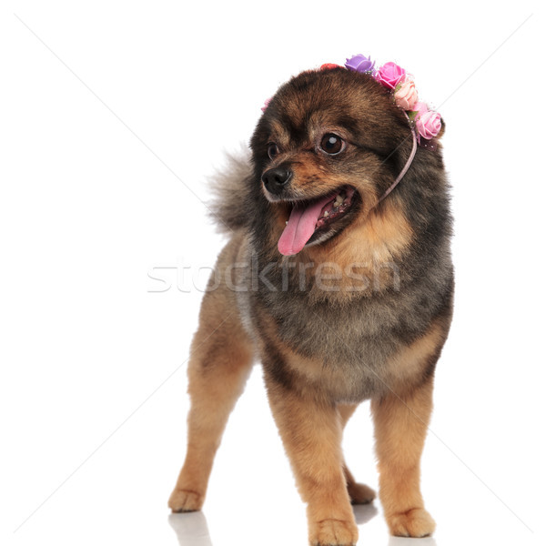 curious pom wearing a colorful flowers crown looks to side Stock photo © feedough