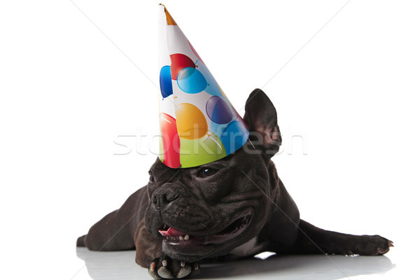 curious lying french bulldog with birthday cap looks to side Stock photo © feedough