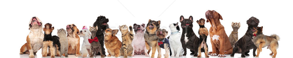 many adorable curious cats and dogs look up Stock photo © feedough