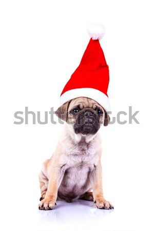 pug puppy wearing a santa hat Stock photo © feedough