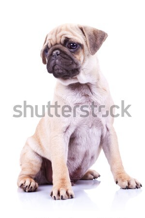 cute pug puppy dog looking to a side Stock photo © feedough