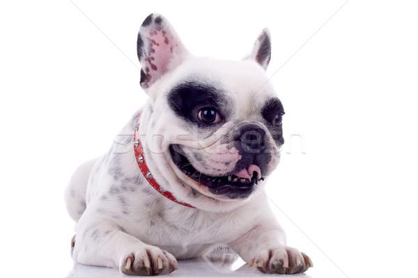 Stockfoto: Frans · bulldog · tong · witte