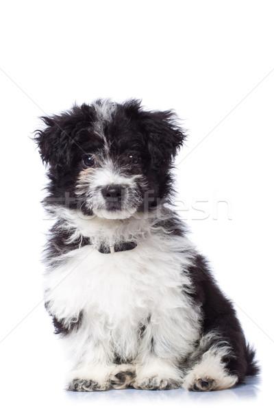 çok güzel havanese oturma siyah beyaz yalıtılmış köpek Stok fotoğraf © feedough