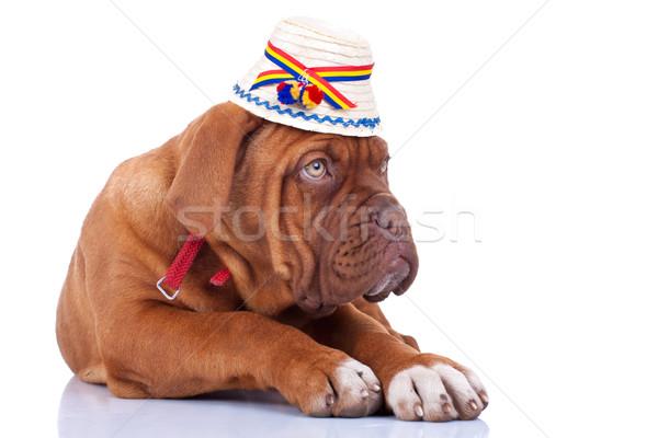 Kutyakölyök visel hagyományos román kalap Bordeau Stock fotó © feedough