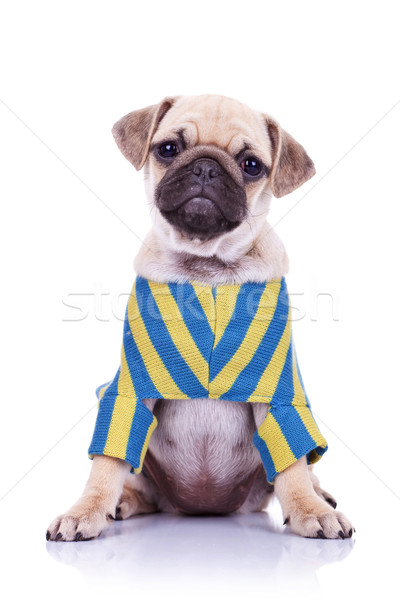 mops puppy with tilted head Stock photo © feedough