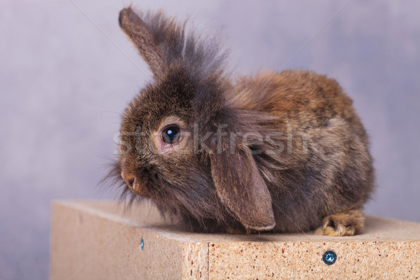 furry lion head rabbit bunny holding one ear up Stock photo © feedough