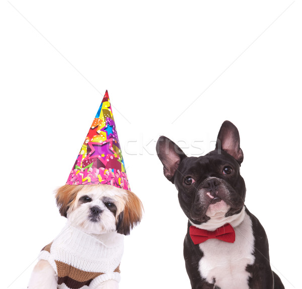 dressed shih tzu and french bulldog ready to party Stock photo © feedough