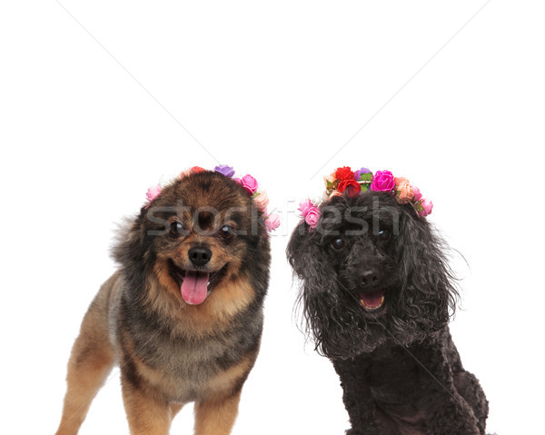 Caniche haletant printemps fleurs couronne Photo stock © feedough