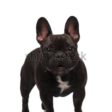Aranyos fekete francia bulldog áll zihálás Stock fotó © feedough