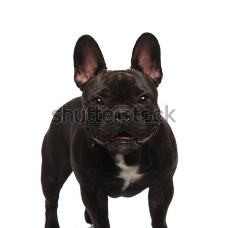Cute noir français bulldog permanent haletant Photo stock © feedough