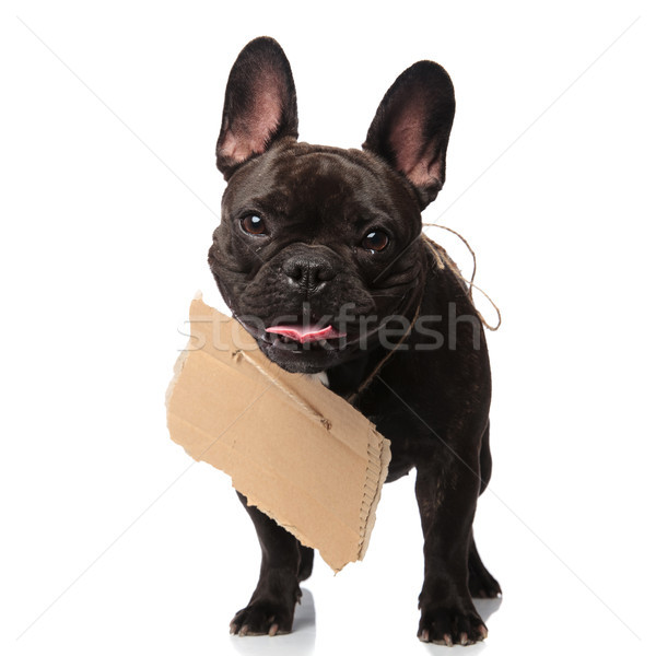 Mendiant français bulldog permanent vide signe Photo stock © feedough