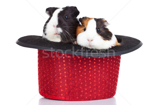 guinea pigs sitting in a red hat Stock photo © feedough