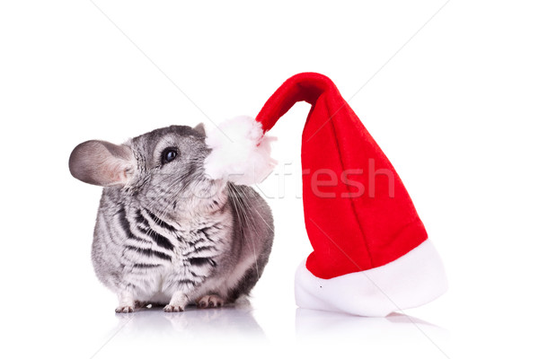 Cute chinchilla chapeau rouge blanche Photo stock © feedough
