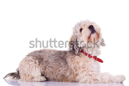 Bearded collie looking up Stock photo © feedough