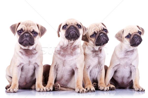 four precious pug puppy dogs Stock photo © feedough