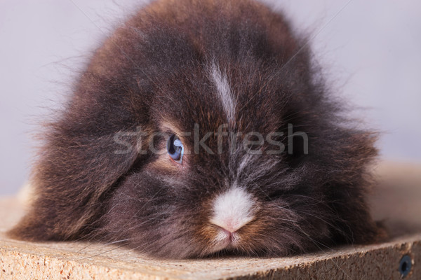 Close up picture of a furry lion head rabbit bunny Stock photo © feedough