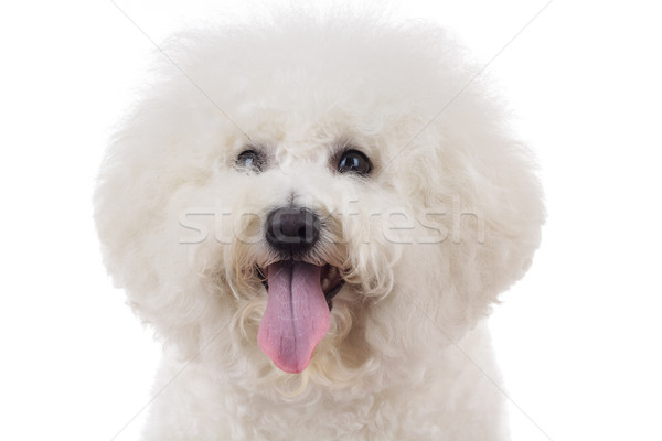 head of an adorable bichon frise with tongue out Stock photo © feedough