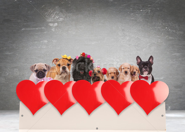 group of adorable dogs celebrating valentine's day  Stock photo © feedough