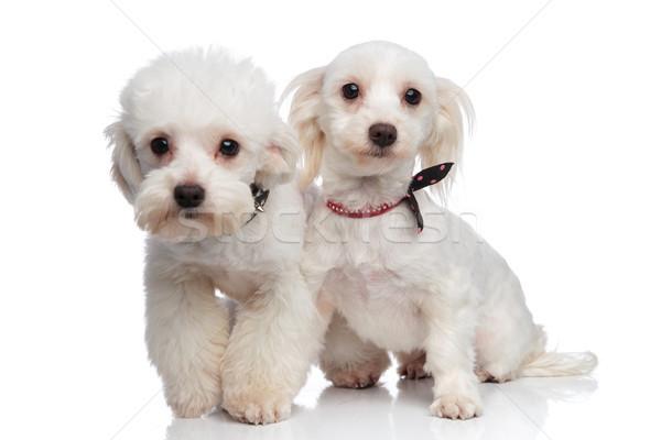 adorable white bichon couple wearing collars Stock photo © feedough
