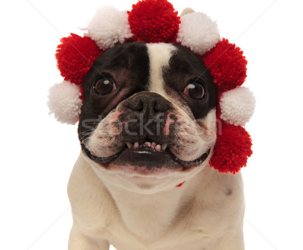 adorable little french bulldog wearing colored headband looks ag Stock photo © feedough
