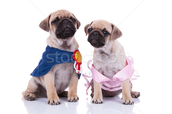 adorable seated pug couple looking in different directions Stock photo © feedough