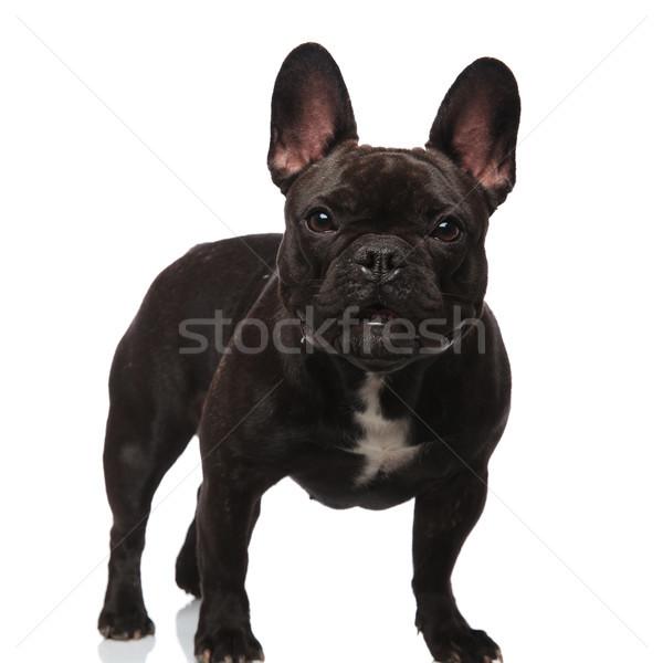 adorable black french bulldog with bat eyes standing Stock photo © feedough