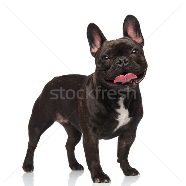 cute panting french bulldog standing and looking happy Stock photo © feedough