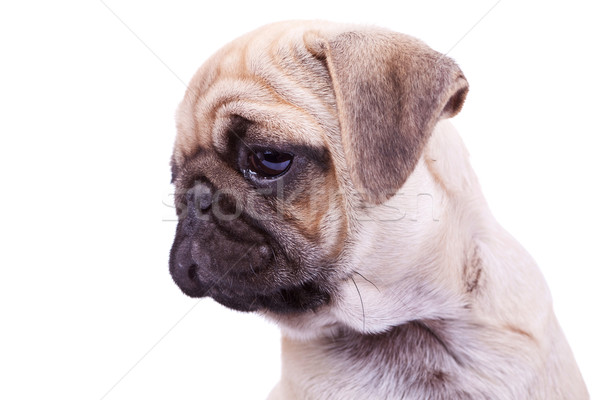 head of a mops puppy dog Stock photo © feedough