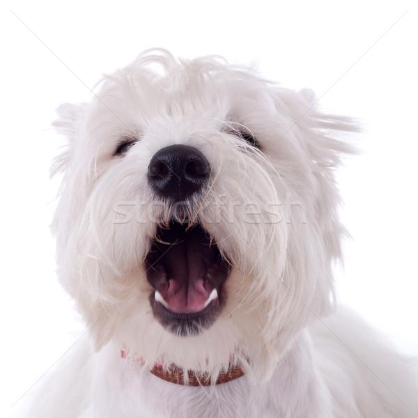 barking westie Stock photo © feedough