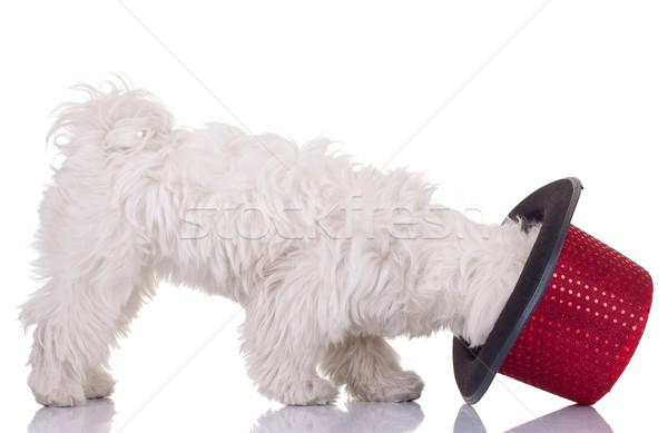 bichon maletese and a hat Stock photo © feedough
