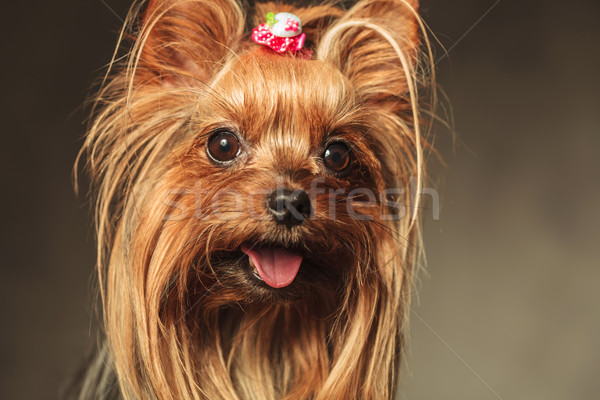 closeup picture of a happy little yorkshire terrier puppy dog fa Stock photo © feedough