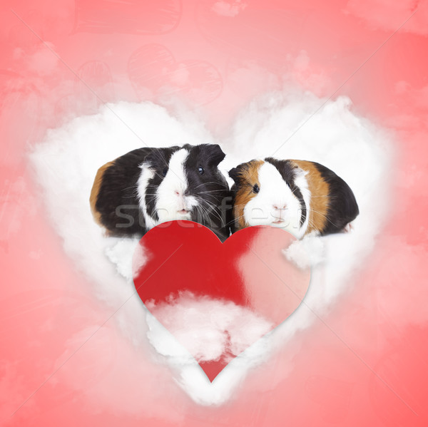 guineea pigs couple sharing a love cloud on valentine's day Stock photo © feedough