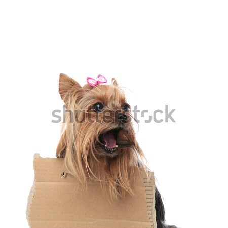 homeless yorkshire terrier screaming for help while wearing a si Stock photo © feedough
