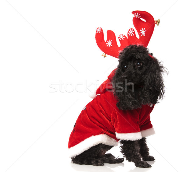 seated black poodle wearing reindeer horns looks back  Stock photo © feedough
