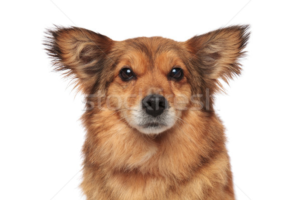 close up of lovely brown furry dog with funny ears Stock photo © feedough