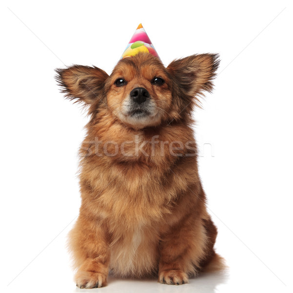 adorable brown metis dog with colorful balloons birthday cap Stock photo © feedough