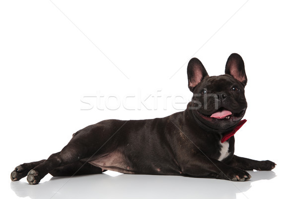 side view of lying french bulldog wearing a red bowtie Stock photo © feedough