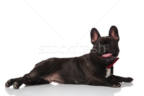Zijaanzicht frans bulldog Rood aanbiddelijk Stockfoto © feedough