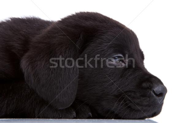 álmos fekete labrador oldalnézet aranyos labrador retriever Stock fotó © feedough