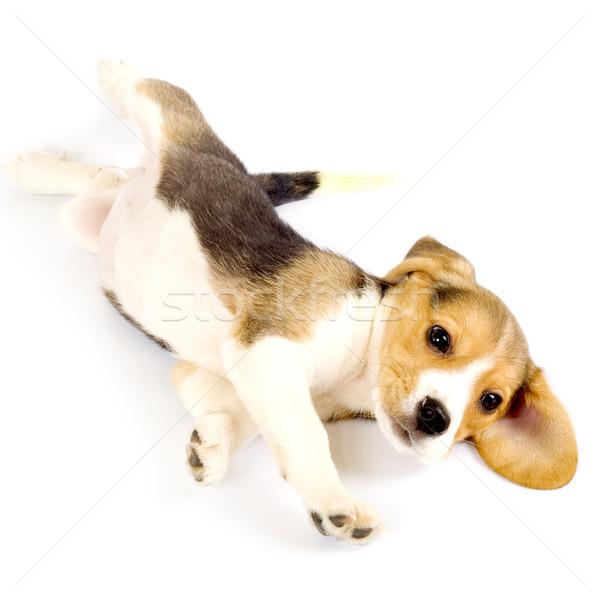 Beagle cucciolo foto piano bianco amico Foto d'archivio © feedough