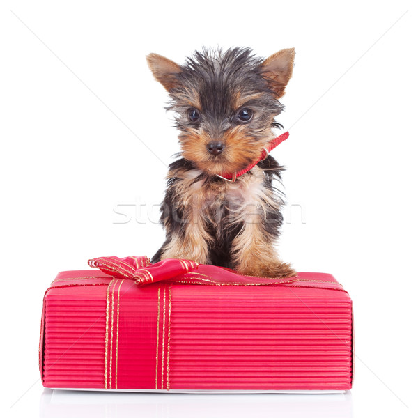 yorkie toy standing on a gift Stock photo © feedough