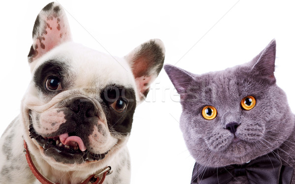 British short hair grey cat  and french bull dog puppy dog Stock photo © feedough