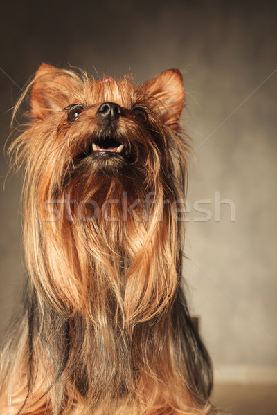 curious little yorkshire terrier puppy dog looking up Stock photo © feedough