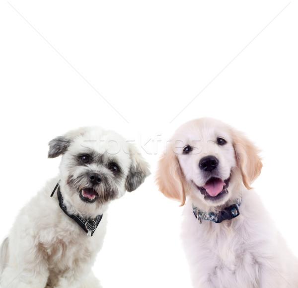 ストックフォト: 2 · 好奇心の強い · 子犬 · 見える · カメラ · 孤立した