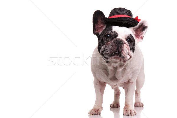 french bulldog wearing black and red hat Stock photo © feedough