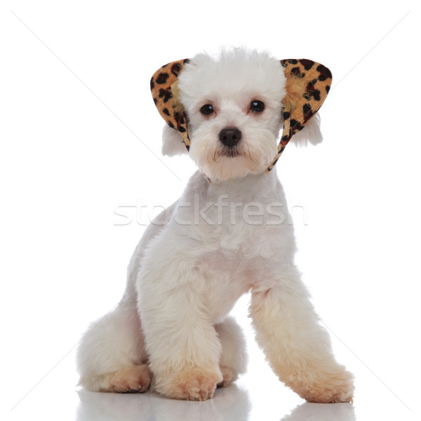 adorable bichon wearing a leopard print headband and sitting Stock photo © feedough