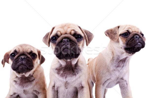 Сток-фото: три · любопытный · щенков · собаки · прелестный · глядя