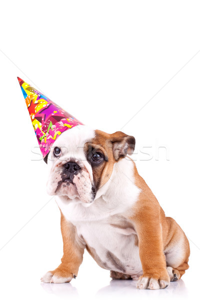 english bulldog puppy with a party hat Stock photo © feedough