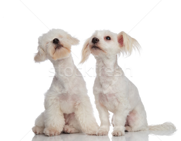 adorable curious bichon couple looking up to side Stock photo © feedough